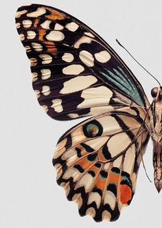 Butterfly illustration or painting / Collections of Objects / Collections of Things / Displaying / Vintage / Ideas / Nature / Antique Inspiration Art, Art Inspo, Butterfly Wings, Butterfly Colors, Butterfly Wing Pattern, Butterfly Painting, Butterfly Background, Butterfly Drawing, Orange Butterfly