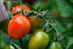 7 geniálních triků na pěstovaní rajčat od zkušeného zahradníka – výsledky mile překvapí! - ženský styl a móda Vegetables, Image, Vegetable Recipes, Veggies