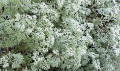 Wormwood (Artemisia absinthium) With the exception of Rue, Wormwood is the bitterest herb known, but it is very wholesome. The leaves resist putrefaction, and have been on that account a principal ingredient in antiseptic fomentations.