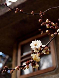 Plum blossom at Kitano Tenmangu Shrine. - Photo courtesy of Promenade in Kyoto, Japan