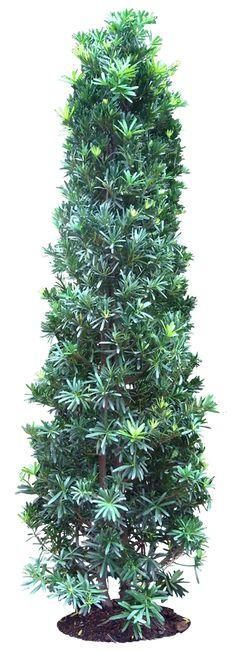 20 Imágenes de árbol PNG - de coníferas