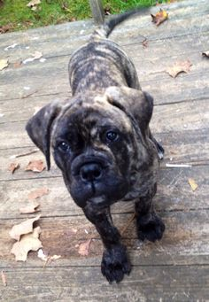 Bullmastiff puppy!