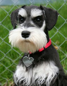 Ranked as one of the most popular dog breeds in the world, the Miniature Schnauzer is a cute little square faced furry coat. Schnauzer Mix, Schnauzers, Schnauzer Grooming, Miniature Schnauzer Puppies, Child Friendly Dogs, Friendly Dog Breeds, Cute Puppies, Cute Dogs, Dogs And Puppies