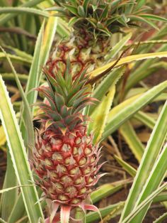 Baby pineapple growing at the Dole Plantation, Oahu, Hawaii!