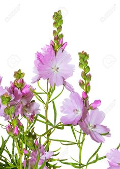 21019619-Delicate-pink-flowers-of-the-Prairie-Mallow-or-Sidalcea-a-wildflower--Stock-Photo.jpg (924×1300)