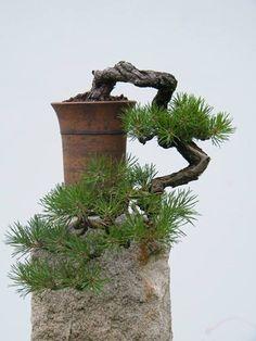 Pin cascade bonsai