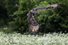 Eagle Owl Hunting