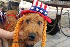Our Irish Terrier, Derry, celebrates!