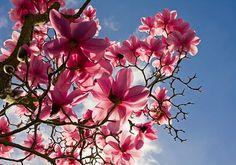 Magnólia a rózsaszín csoda!