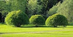 Terijoen salava - kaunein puu