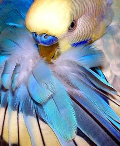 Parakeet preening its feathers. What a beauty!