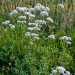 Herbs for Wet Areas