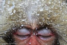 """Relaxation  Jasper Doest/Natural History Museum  Commended Photo in """"Animal Portraits"""" Category  Japanese macaques stay warm by taking advantage of hot-spring pools. If they get relaxed enough, some even fall asleep. Jasper Doest took advantage of the opportunity by snapping this shot."""