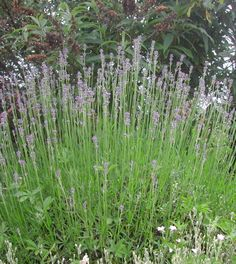 Lavande, plante aromatique Tous sur les plantes aromatiques