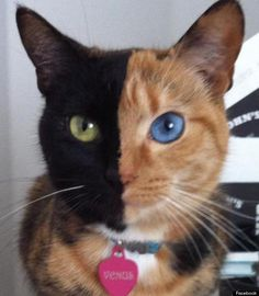 """Venus, the chimera cat with """"two faces""""... a genetic anomoly where an organism has two sets of DNA (basically fraternal twins in one body)."""