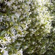 Great for a privacy hedge/fence: Evergreen,. Grows fast,. Grows tall,. And produces fragrant flowers,.
