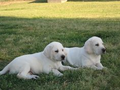 54 Best White Lab Puppies Images Cute Dogs Cute Puppies Doggies