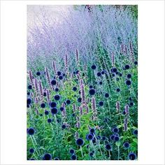 Echinops 'Veitchs Blue' - Globe thistle and Perovskia - Russian sage: