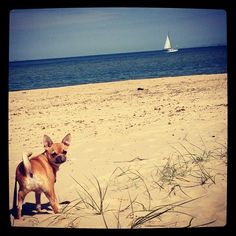 A day at the seaside... #maus #chihuahua
