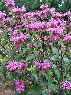 Attract butterflies, bees and hummingbirds to your yard with Bee Balm flowers from Bluestone Perennials. Learn more about perennial Monardas today. Butterfly Garden Plants, Plants That Attract Butterflies, How To Attract Hummingbirds, Butterfly Feeder, Colorful Flowers, Pink Flowers, Bee Balm Flower, Woodland Garden, Just Dream