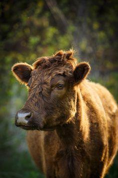 Daily Dose - April 22, 2016 - Lovely Dexter Cow 2016©Barbara O'Brien Photography