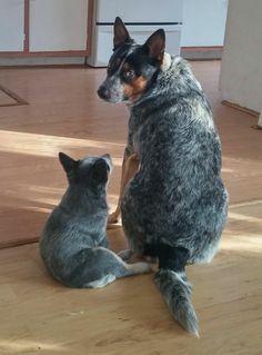 Cute Cattle Dog/Puppy