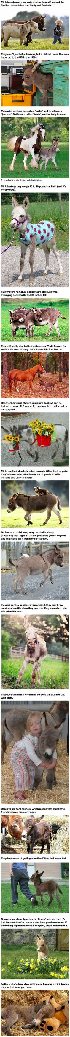 Mini donkeys are the perfect pets...