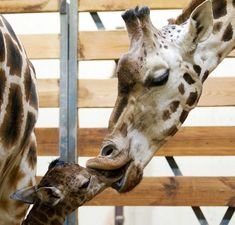 Momma Giraffe kisses her baby at the Prague Zoo by Tomas Adamec Zoo Animals, Cute Baby Animals, Animals And Pets, Funny Animals, Prague Zoo, Giraffe Costume, Very Cute Baby, Baby Animals Pictures, English Bull Terriers