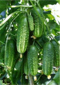Fruit Plants, Fruit Garden, Cool Plants, Small Vegetable Gardens, Home Vegetable Garden, Espalier Fruit Trees, Trees To Plant, Growing Tomatoes From Seed, Vegetable Packaging