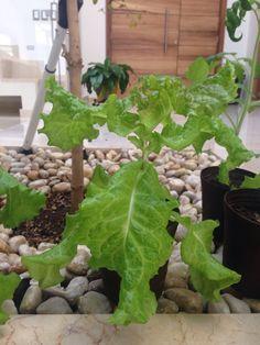 gracias a que les hemos dado la atención necesaria nuestras plantas han crecido sanas, en vacaciones estuvieron muy bien atendidas por alguien que nos hizo el favor de regarlas para que no se murieran