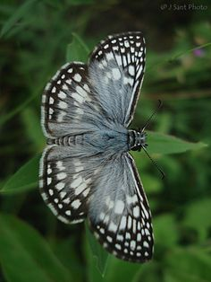 Orcus Chequered-Skipper: Pyrgus orcus   ~☆~