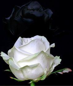 Rosablanca-rosa negra - Mi lado goth {black & dark roses} - enfemenino.com