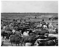 South Texas cattle ranch 1955