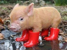 Pig wearing rain boots:)