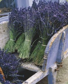 Wheelbarrow filled with LAVENDER delight!
