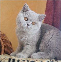 british shorthair chatons 6 semaines trop mignon pinterest races de chat british et. Black Bedroom Furniture Sets. Home Design Ideas