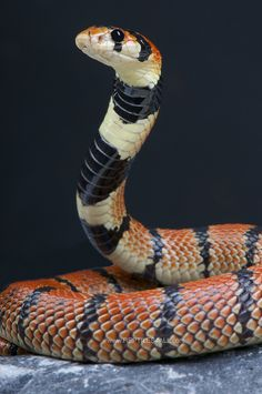 Cape coral snake / Aspidelaps lubricus by Reptiles4all, via Flickr