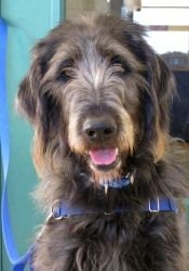 Pete is an adoptable Labrador Retriever Dog in Waukesha, WI. I'm Pete and I'm at HAWS just waiting for my forever home. I am a Labrador Retriever/Poodle mix that is friendly and goofy and just plain ...