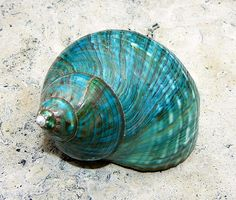 Caracoles de mar