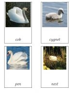 Free cards for teaching the names of the Swan family.  Cob, Pen and Cygnet.