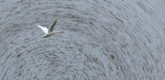 Stylised swan on the Medway