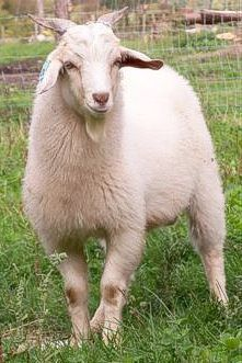 Did you know that Cashmere is produced by goats?    find out more...www.goatfacts.ca/cashmere.php