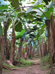 Banana Plantation, Costa Rica