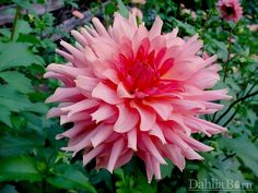 Quality dahlias grown in Washington State. We sell single dahlia tubers and dahlia bulbs that are true to name, guaranteed to grow and are free from viruses and diseases. Growing Dahlias, Rare Flowers, Gladiolus, Climbing Roses, Clematis, Washington State, Daffodils, Planting Flowers, Daisy