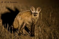 Night Time Fox