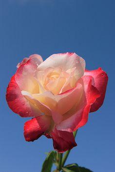 blooming in the sky    Nagai Botanical Garden (長居植物園) [JP]