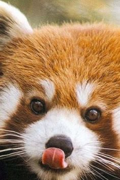 Red Panda, aka Firefox. My current favorite animal. (Second place to lemurs - which the Firefox replaced.)