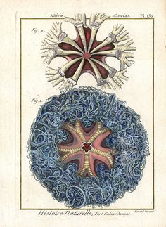 Starfish from J. G. Bruguiere, Lamarck & Bory Starfish, Sea Stars, Sea Urchins in Tableau Encyclopedique et Methodique 1791 #shells #urchins #starfish #european #prints #antiqueprints