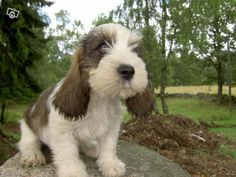 The Petit Basset Griffon Vendéen (meaning little, low-built, clerk's dog from the Vendée region) was bred in 18th-century France for chasing hares.  It is the most popular of the griffon Vendéen dogs for its alert enthusiasm, despite frequently having back problems due to its long, short shape.  Petit Bassets are good with children & with other animals, adapt well to urban living, & can tolerate cold but require a lot of exercise.