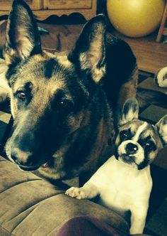 French bulldog and German Shepard. Best friends!